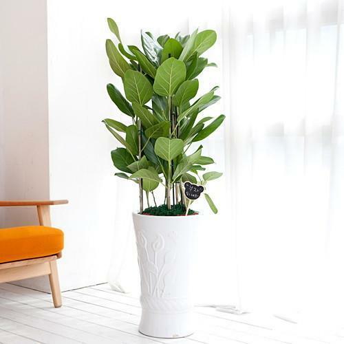 [전국꽃배달 더플라워샵] FN5625 뱅갈고무나무개업이전관엽행사집들이전시회공기정화식물